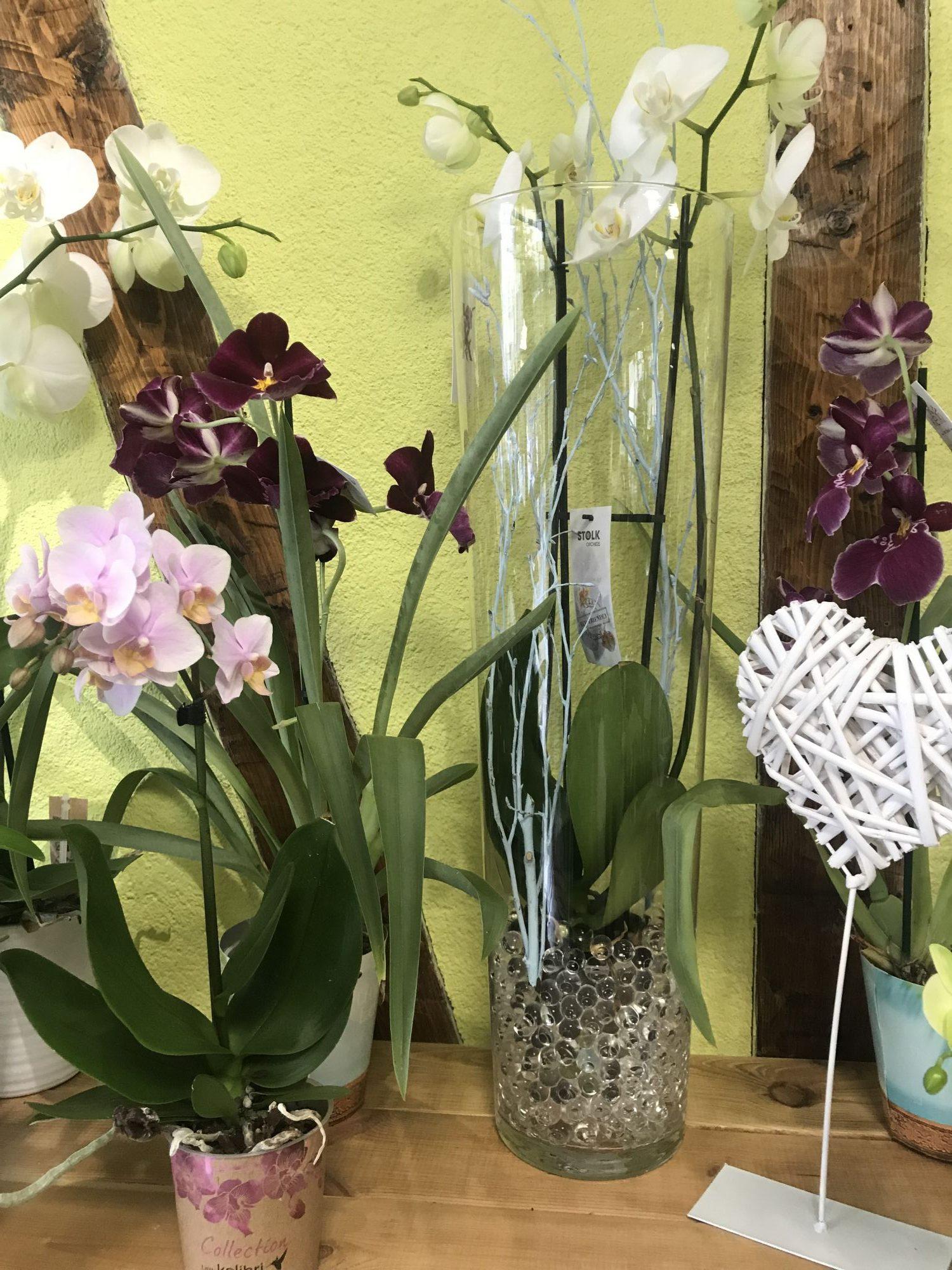 phalaenopsis-blanche